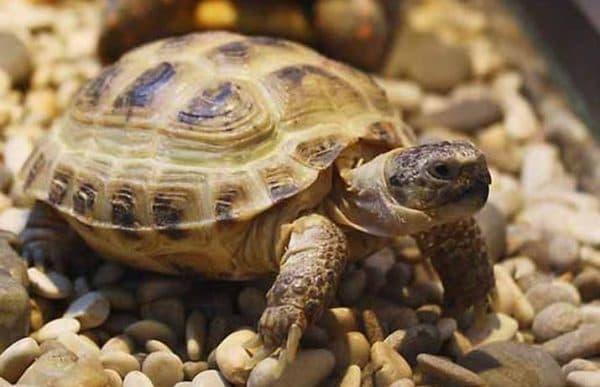 Среднеазиатская черепаха отдыхает