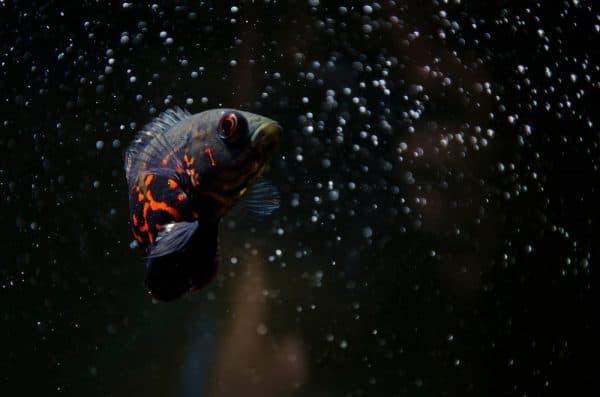 Астронотус тигровый фото