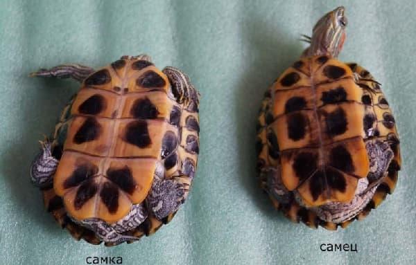 Определение пола у красноухих черепах