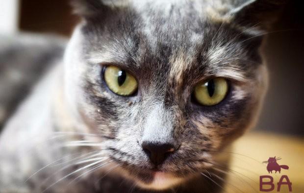 Облысение у кошки симптомы, признаки и быстрое лечение облысения