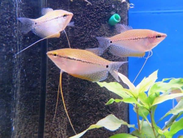 Гурами жемчужный - мирная аквариумная рыбка