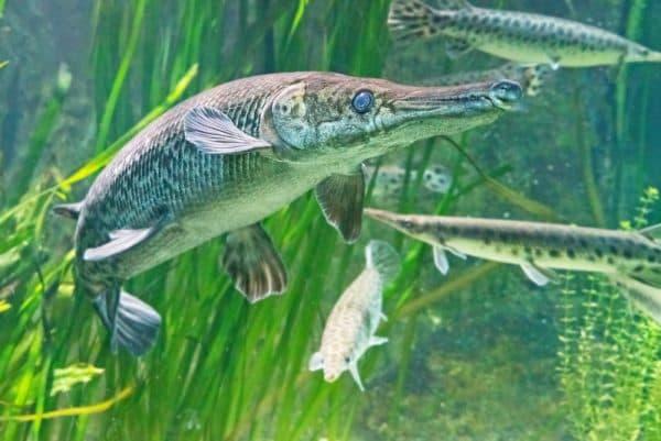 Панцирная щука - красивая рыбка в аквариуме