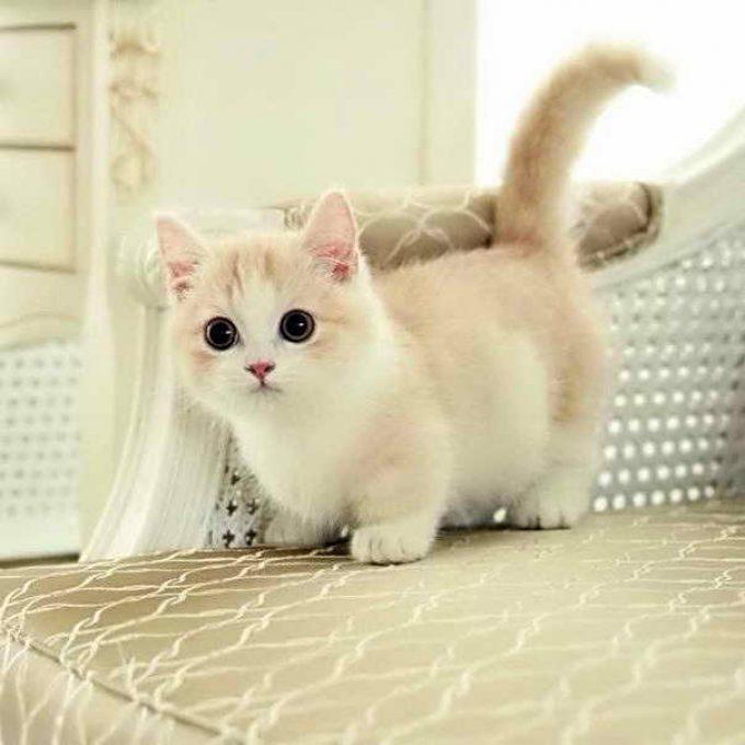 котенок манчин