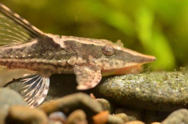 Стурисома панамская - удивительная рыбка
