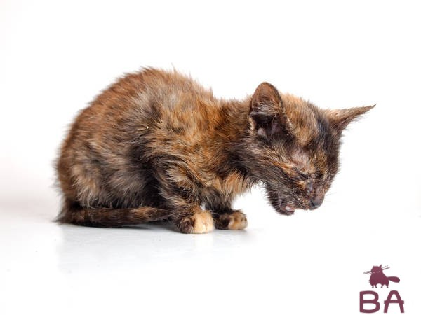 Чумка у кошки