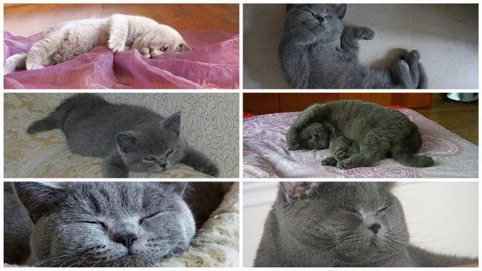 поведение кошек британской породы