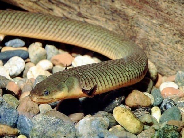 Рыба змея или калабарский каламоихт