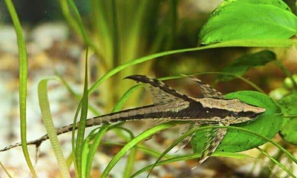 Стурисома панамская - красивый сомик в аквариуме