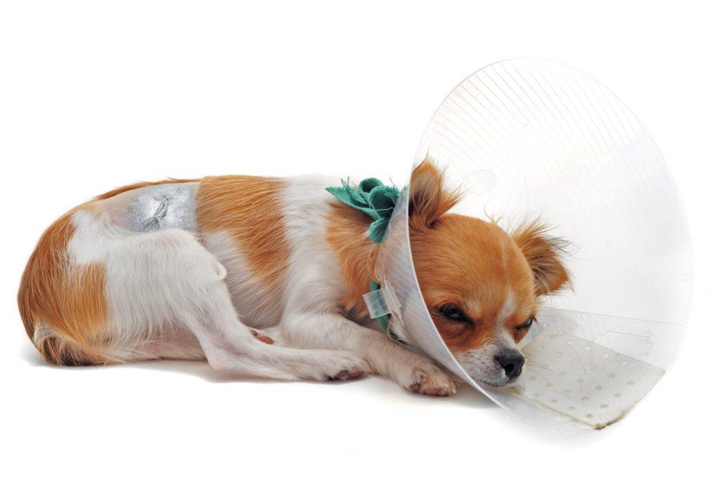 Собака после наркоза