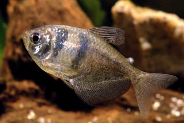 Тернеция. Содержание, фото рыбки, видео, совместимость и разведение.