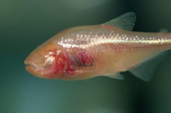 Мексиканская слепая рыбка в аквариуме
