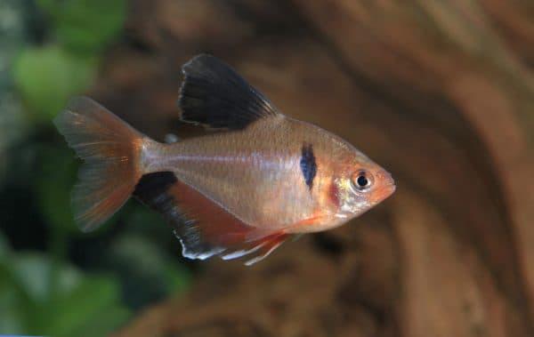 Серпас - красивая рыбка в аквариуме