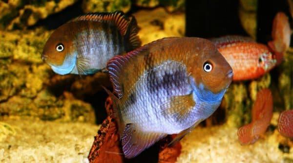 Цихлазома Седжика - красивая аквариумная рыбка