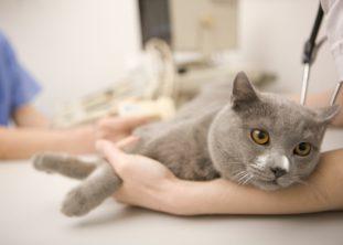 Наиболее высок риск заражения токсоплазмозом при контакте с инфицированными кошками