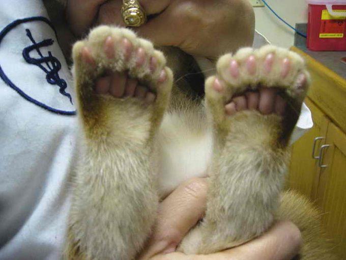 аномалия у кошки, пальцев больше, чем надо