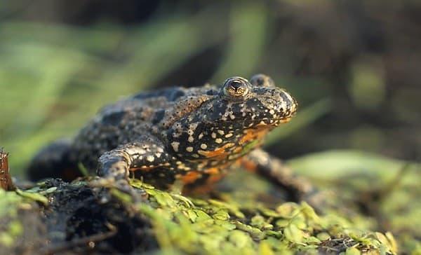Краснобрюхая жерлянка - превосходная лягушечка