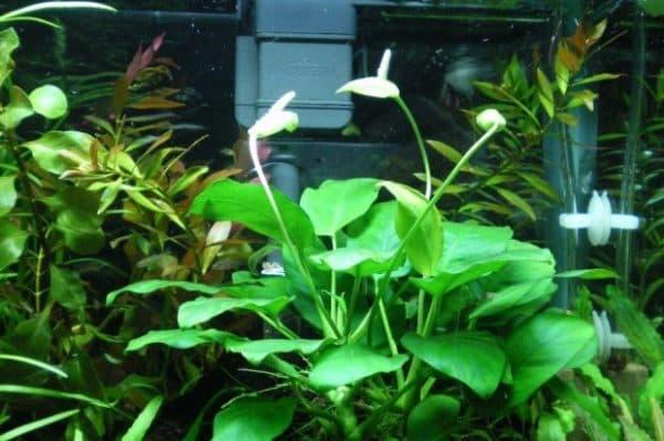 Анубиас нана - красивое аквариумное растение