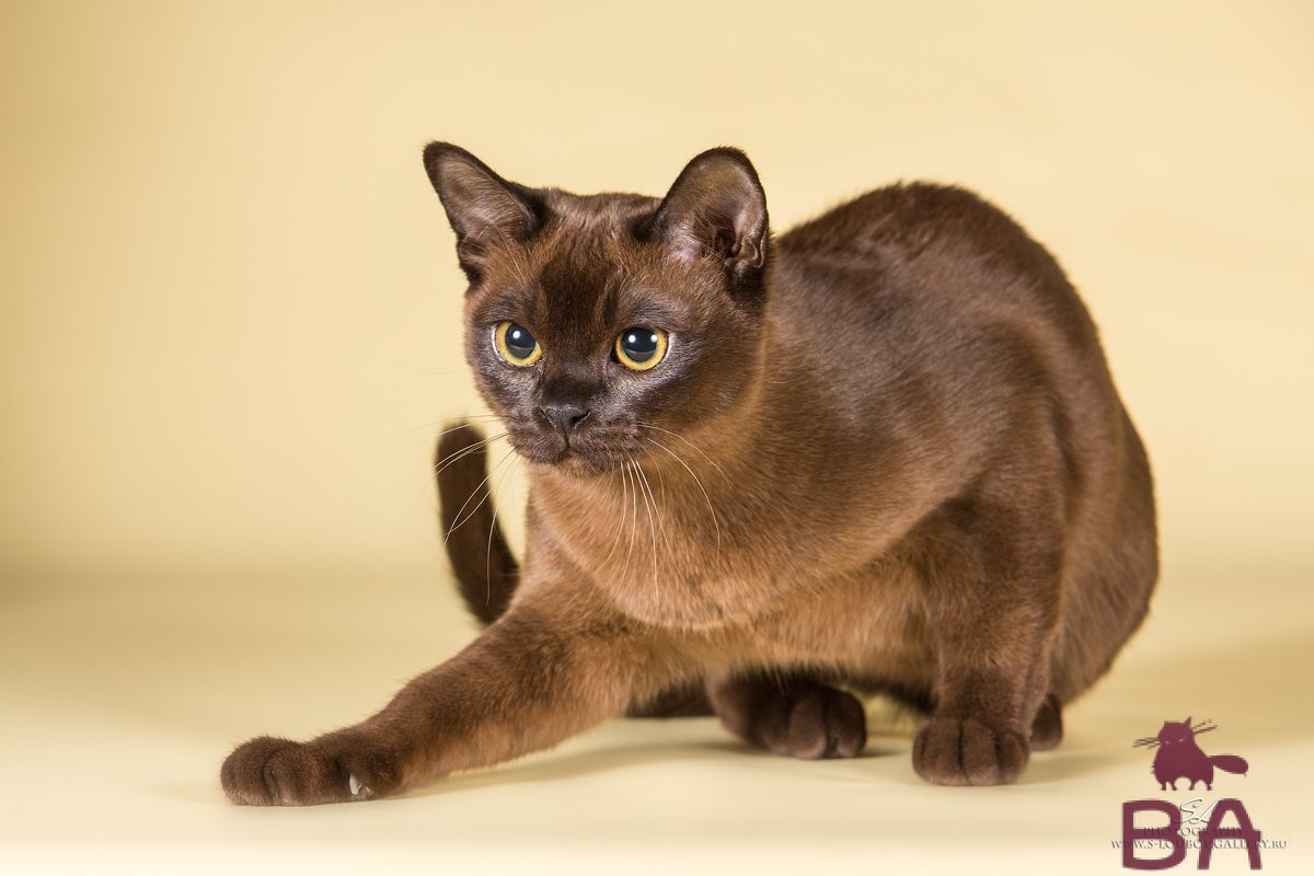 Какая порода кошек считается самой ласковой?
