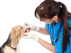 воспаление десен у собак чем лечить