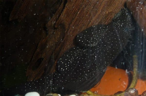 Анциструс звездчатый - красивый сомик в аквариуме