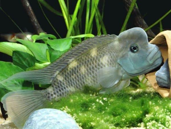 Стеатокранус рыбка
