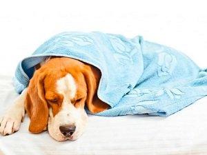 короновирусная инфекция у собак