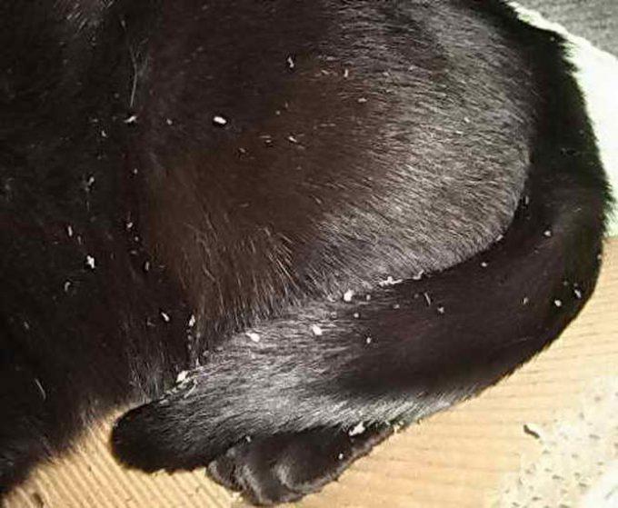 перхоть у кошки на спине