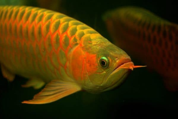 Арована в аквариуме