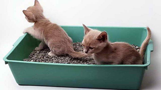 Как приучить маленького котенка к лотку, причины отказа