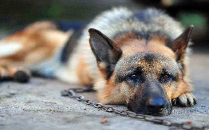 собака на цепи скучает