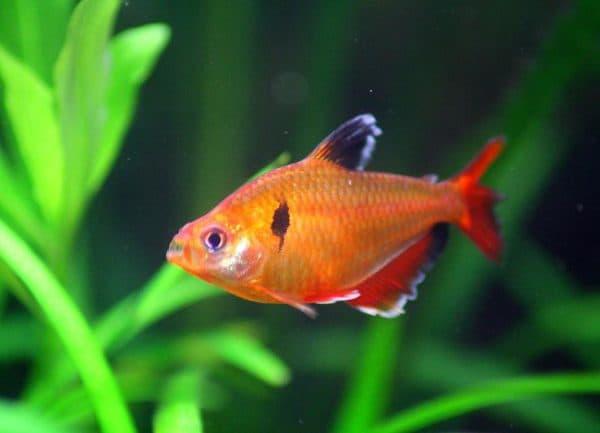 Минор рыбка - красивая рыбка в аквариуме