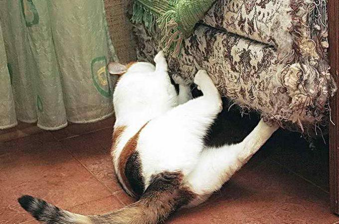 кот дерет и кусает мебель