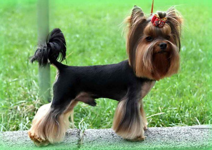 стильная декоративная порода собак йорк
