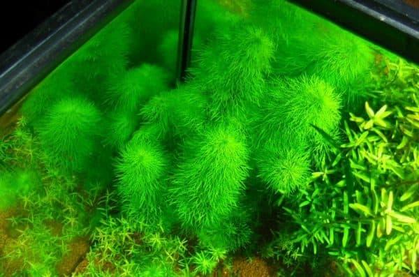 Амбулия - красивое растение в аквариуме