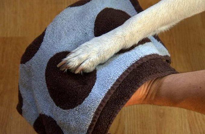 грязные лапы у собаки нужно мыть