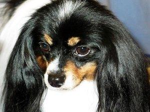 фален собака фото