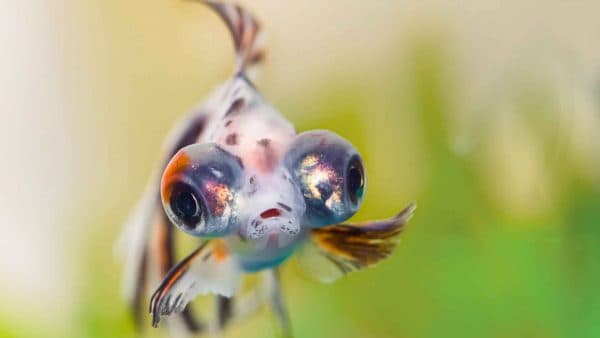Аквариумная рыбка телескоп – пучеглазая золотая рыбка