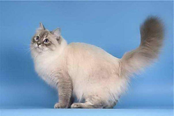 популярная порода кошек