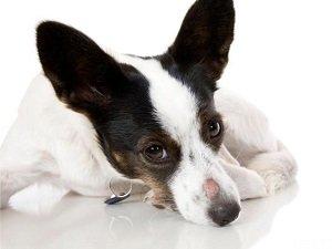 микроспория у собак лечение