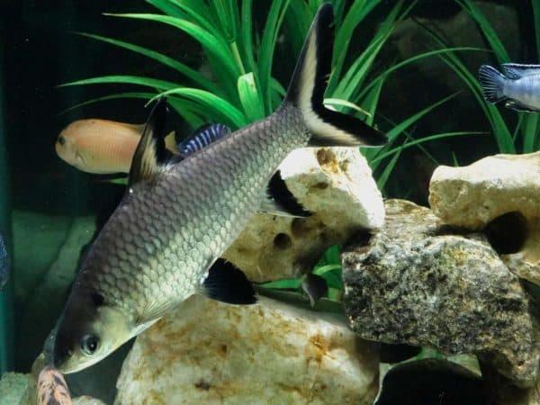 Акулий балу удивительная рыбка
