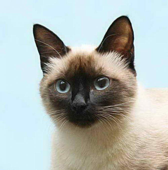 красавец кот тайской породы