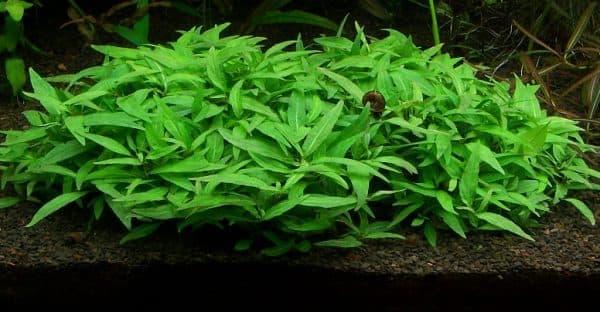 Стаурогин - красивое растение в аквариуме