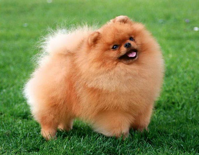 померанский шпиц добрая собака для семьи