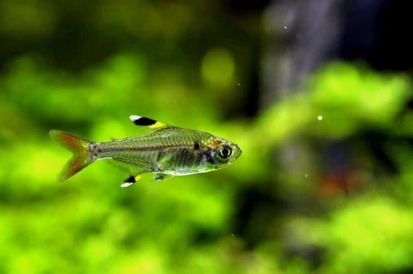 Пристелла - красивая рыбка в аквариуме