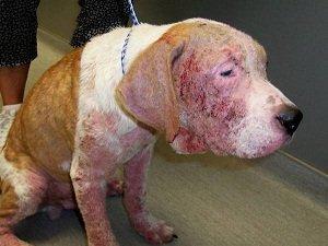 демодекоз у собак лечение в домашних условиях
