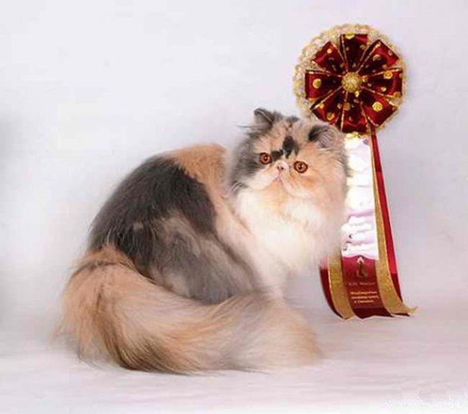 персидский кот на выставке