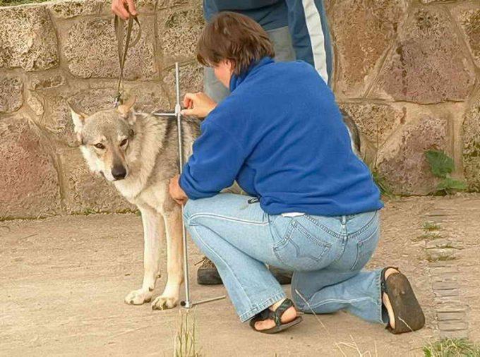 наглядный пример как измерять собаку в холке