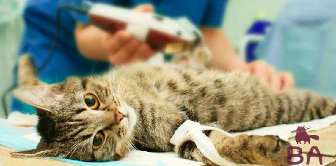 Когда кастрировать кота на что обратить внимание перед операцией