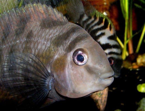 Красивая рыбка чернополосая цихлазома