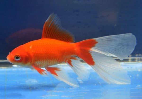 Комета аквариумная рыбка фото